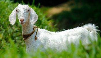 Nieuw colostrum bulk en colostrum van geiten