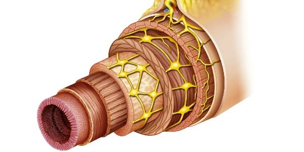 darmen darmslijmvlies spieren