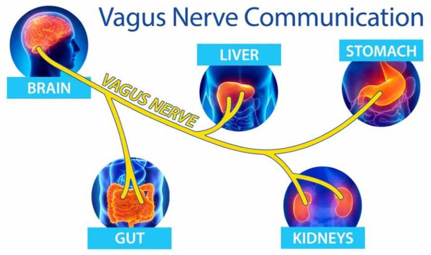 brain food voor nervus vagus